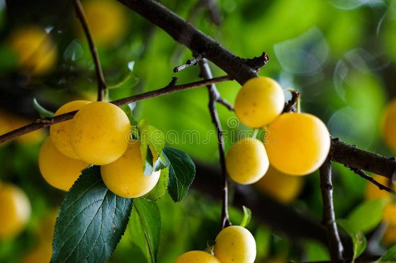 Fin jaune de branche de mirabelle de prune  images stock