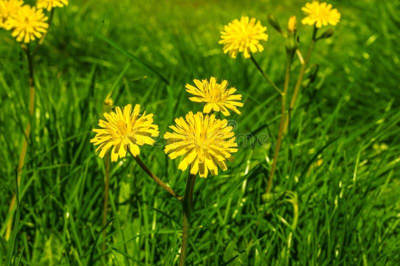 Fin jaune de fleur de pissenlit vers le haut image libre de droits