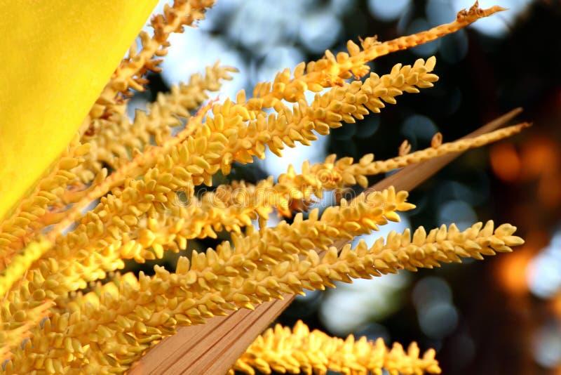 Fin jaune de pollen de noix de coco, fleur ou spadix de la noix de coco ou de la paume de bétel photo libre de droits