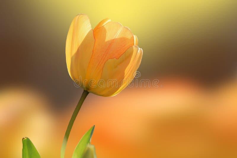 Fin jaune de tulipe et beaucoup de tulipes jaunes ? l'arri?re-plan photographie stock