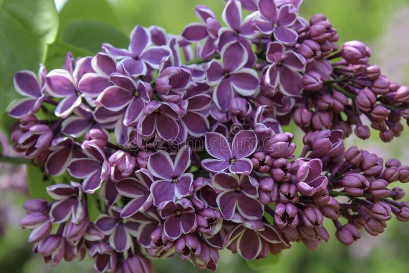 Fin lilas de fleur de ` de sensation de ` de fleur  images libres de droits