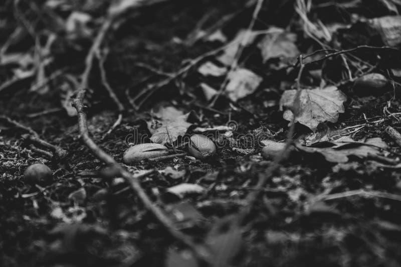 Fin noire et blanche d'art vers le haut de l'image des glands photographie stock