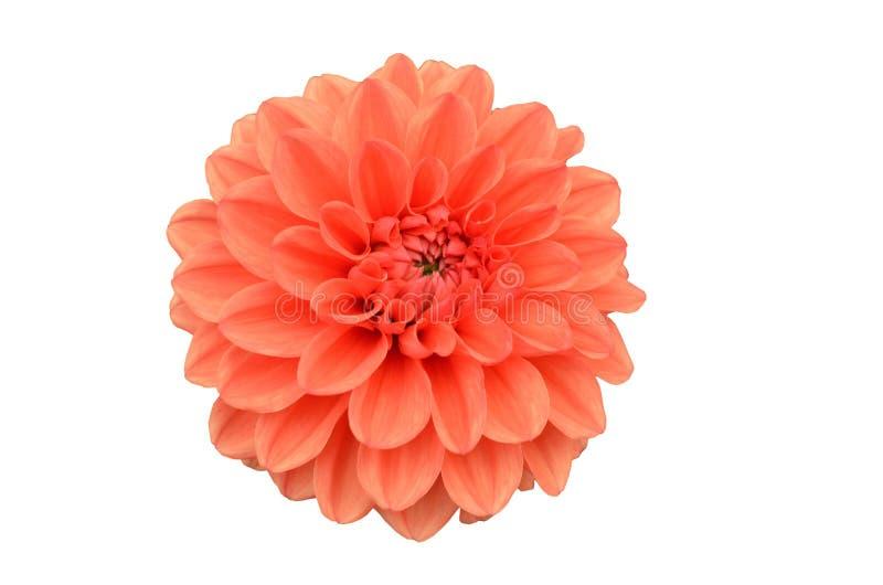 Fin orange de fleur de Gergina vers le haut d'isolat sur le fond blanc photographie stock libre de droits