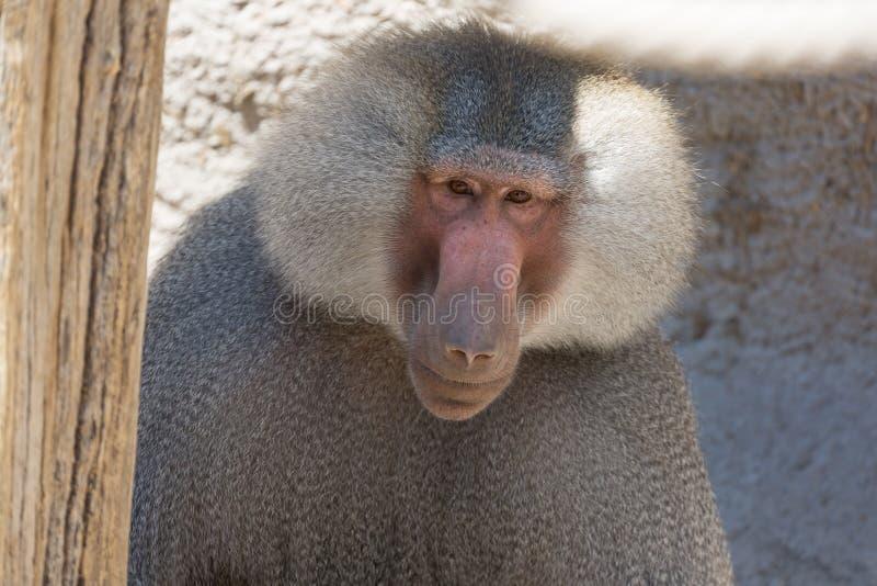 Fin pavian de hamadryas de Papio de babouin de Hamadryas vers le haut de portrait dans le zoo image libre de droits