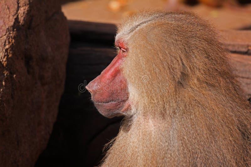 Fin pavian de hamadryas de Papio de babouin vers le haut de portrait images libres de droits