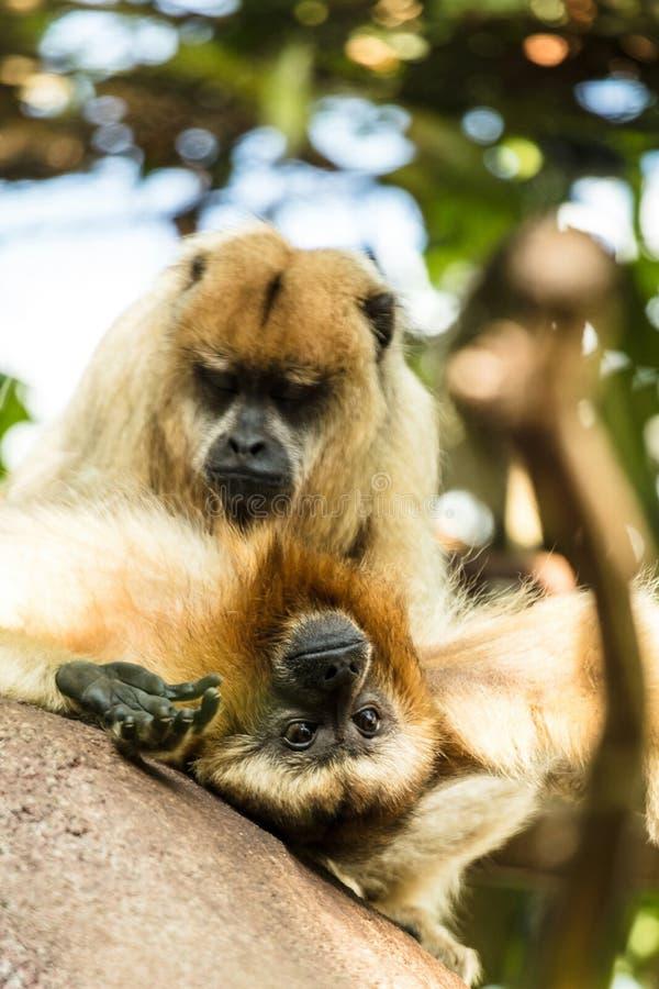Fin pavian de hamadryas de Papio de babouin de Hamadryas vers le haut de portrait dans le zoo photos libres de droits