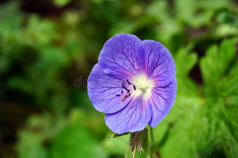 Fin pourprée de fleur vers le haut image libre de droits