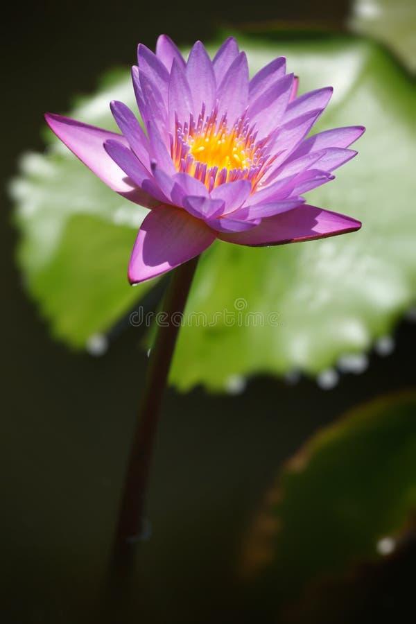 Fin pourprée de lotus vers le haut photos stock