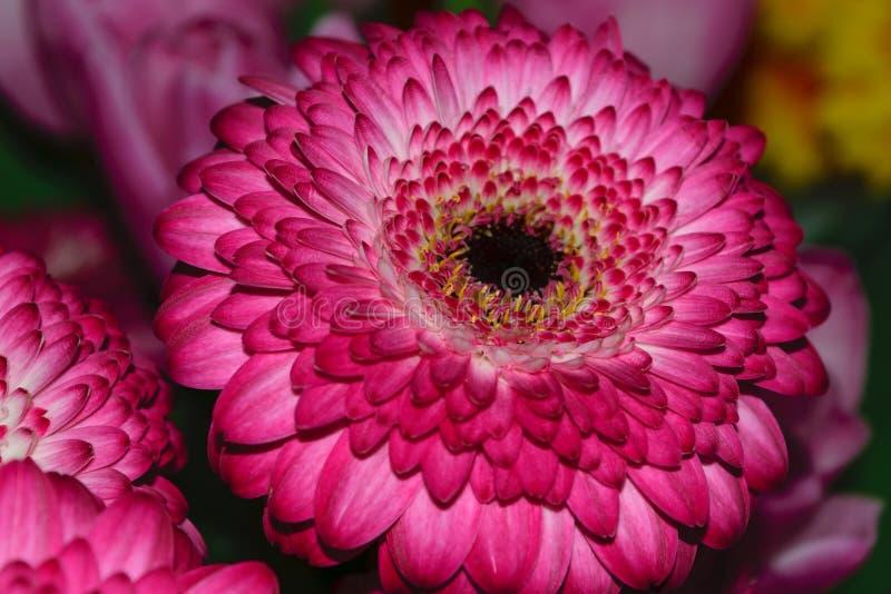Fin pourpre de fleur de Jamesonii de Gerbera de marguerite de Barberton aka  images libres de droits
