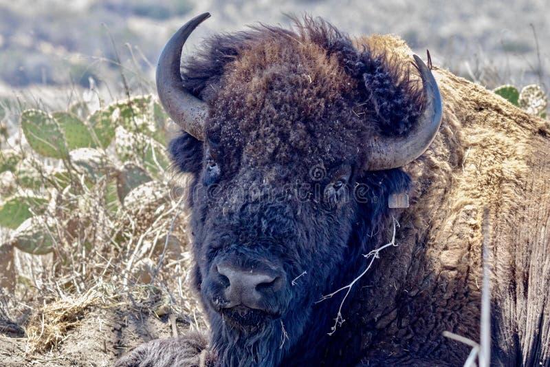 Fin principale de bison américain  photos stock