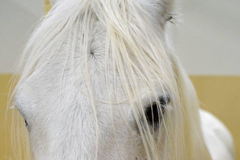 Fin principale de poney de Connemara  images libres de droits