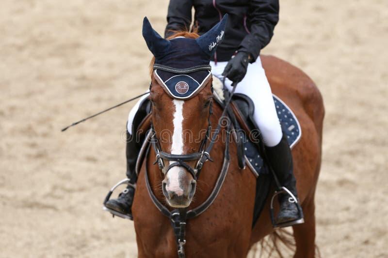 Fin principale de tir d'un beau jeune cheval de sport pendant le compe image libre de droits