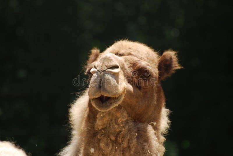 Fin réceptrice de chameau de dromadaire photos stock