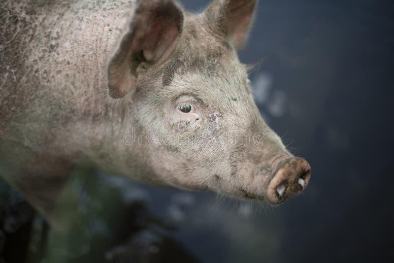 Fin rêveuse vers le haut du portrait d'un jeune porc, porcelet, d'un courbe avec un fond brouillé flou images stock