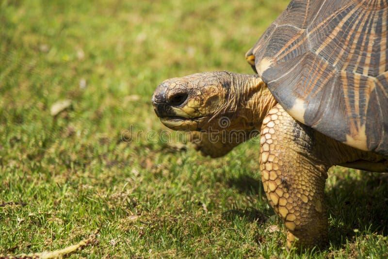 Fin rayonnée de tortue vers le haut du portrait 5 image stock