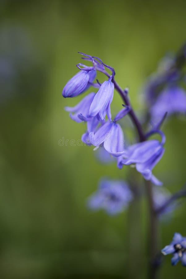 Fin renversante de macro vers le haut de portrait de fleur de Hyacinthoides Hispani image stock