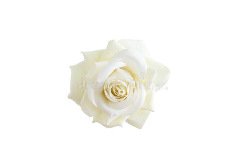 Fin rose crème blanche de bourgeon  photo libre de droits