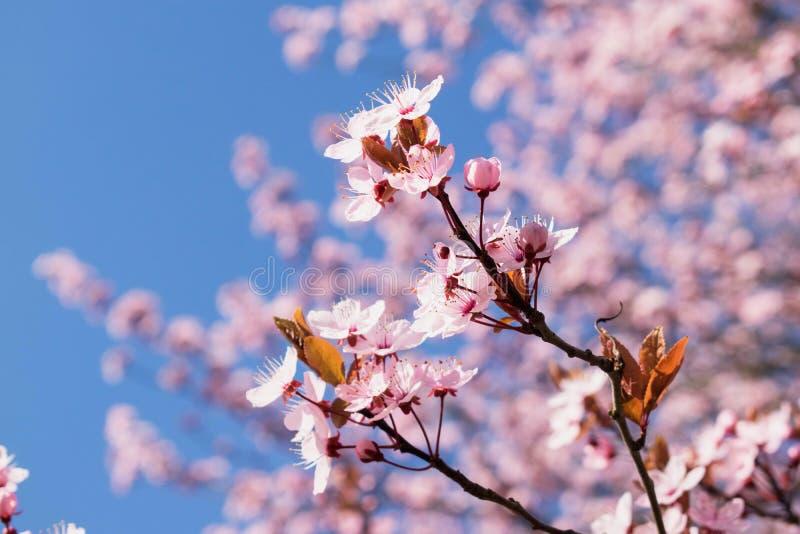 Fin rose d'arbre de fleurs de cerisier avec le ciel bleu images stock
