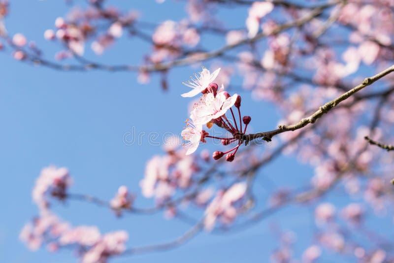 Fin rose d'arbre de fleurs de cerisier avec le ciel bleu photo stock
