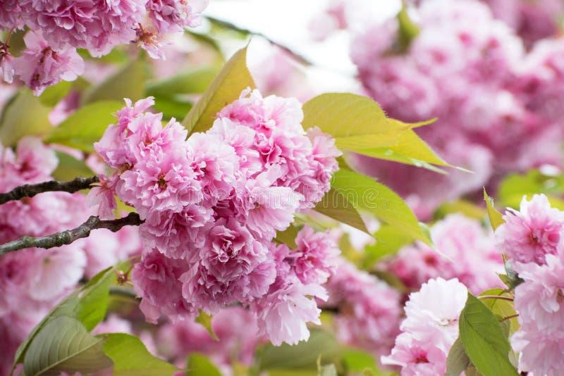 Fin rose de Cherry Blossom  Fond de source Photo fraîche florale de fleur La profondeur du champ soutiennent dessus d'un détail d photo libre de droits