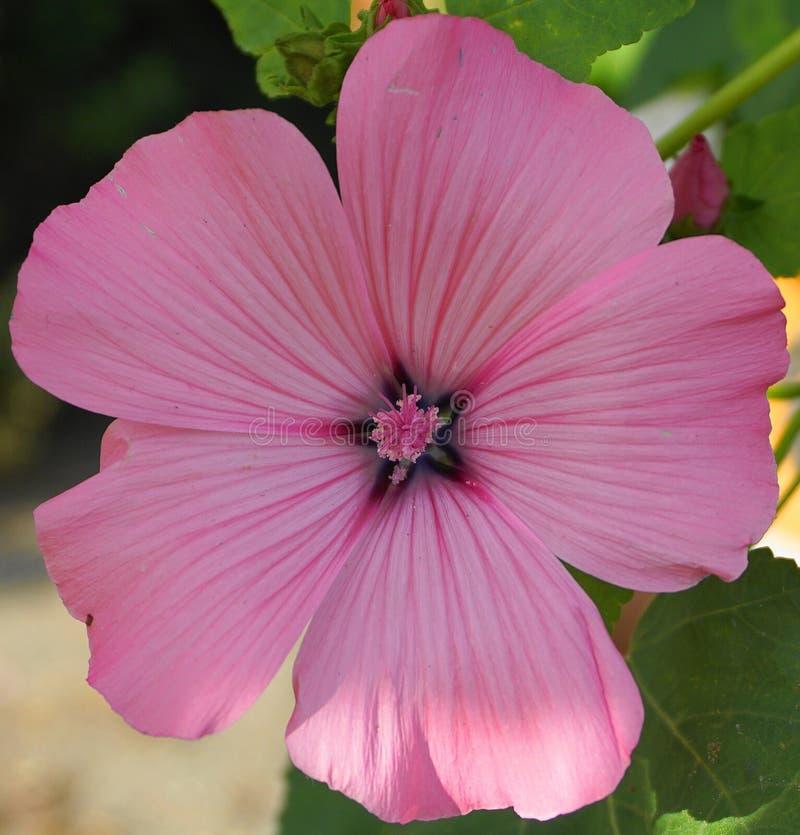 Fin rose lumineuse de fleur de ketmie  images libres de droits