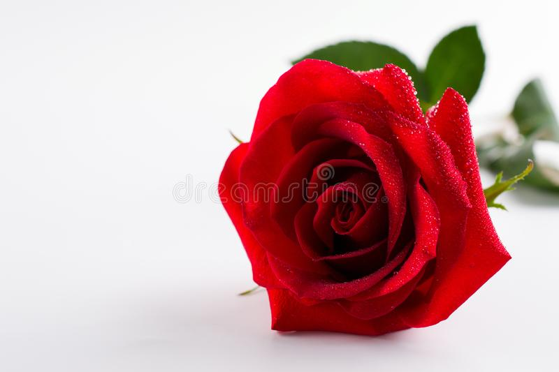 Fin rose rouge de fleur de beau velours simple de bourgeon  Sur le blanc photographie stock libre de droits