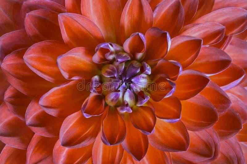 Fin rouge de dahlia de fleur, vue supérieure Macro d'une fleur rouge image libre de droits