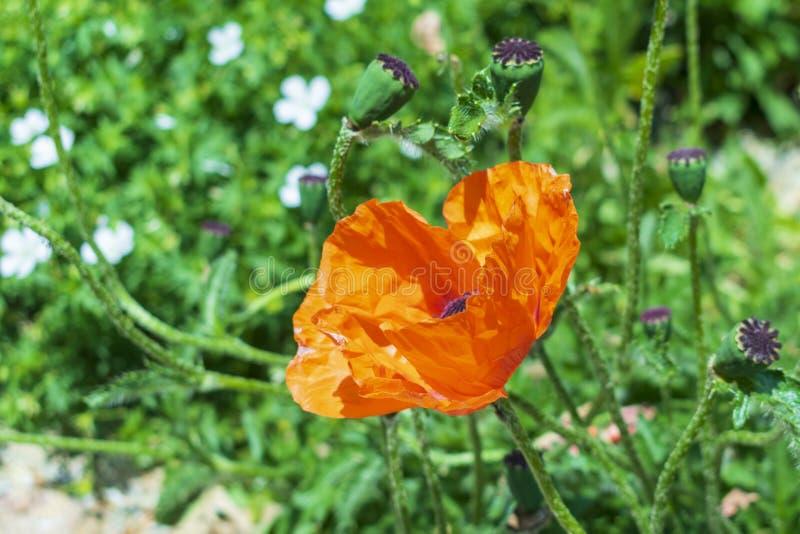 Fin rouge de floraison de pavot, dans la perspective de petites fleurs blanches et d'herbe verte photos libres de droits