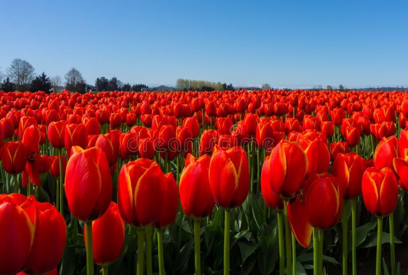 Fin rouge de Tulip Fields vers le haut de vue image stock