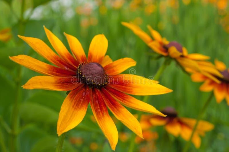 Fin rouge jaune de chrysanthemum vers le haut photos libres de droits