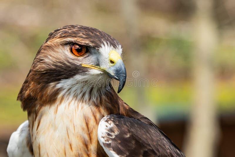 Fin royale majestueuse d'oeil de faucon  photo libre de droits