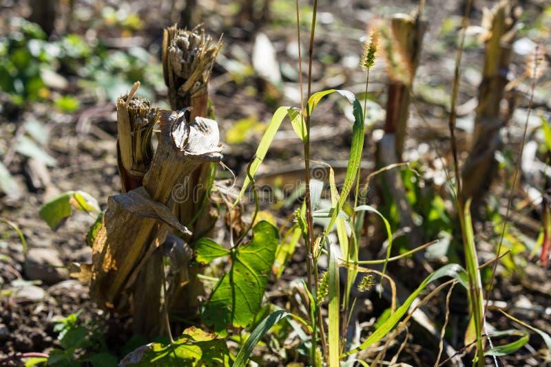 Fin sèche de champ d'agriculture d'été trop chaude aucune pluie photos stock