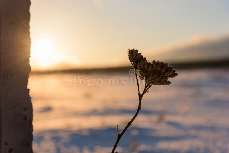 Fin sèche de lumière du soleil d'usine d'hiver  photo libre de droits