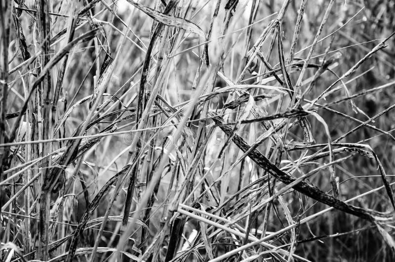 Fin sèche de pâturage vers le haut de noir et blanc avec de longues feuilles photos stock