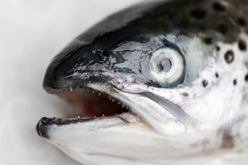 Fin saumonée de poissons vers le haut de macro tête avec le foyer sur des teaths pointus image libre de droits
