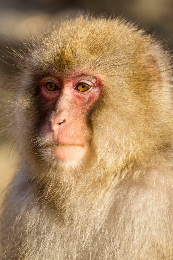 Fin sauvage de singe  image stock