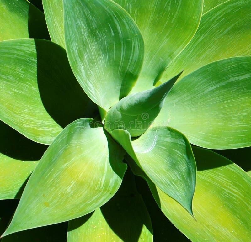 Fin succulente d'usine d'agave  Texture florale verte naturelle de fond Concept de plantes tropicales images stock
