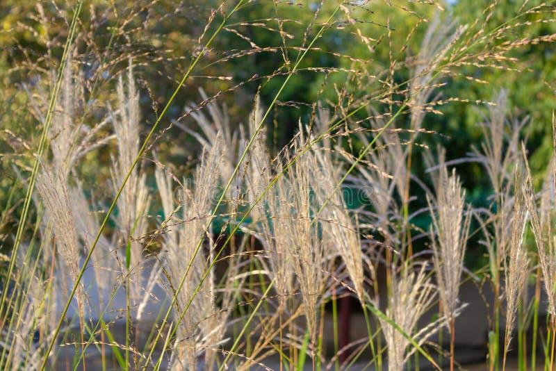 Fin velue élevée d'herbe sauvage  images libres de droits