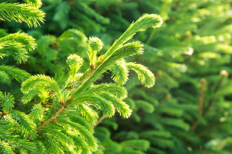 Fin vers le haut Brin vert de jeunes aiguilles luxuriantes La végétation est inondée avec le contre-jour de matin image stock