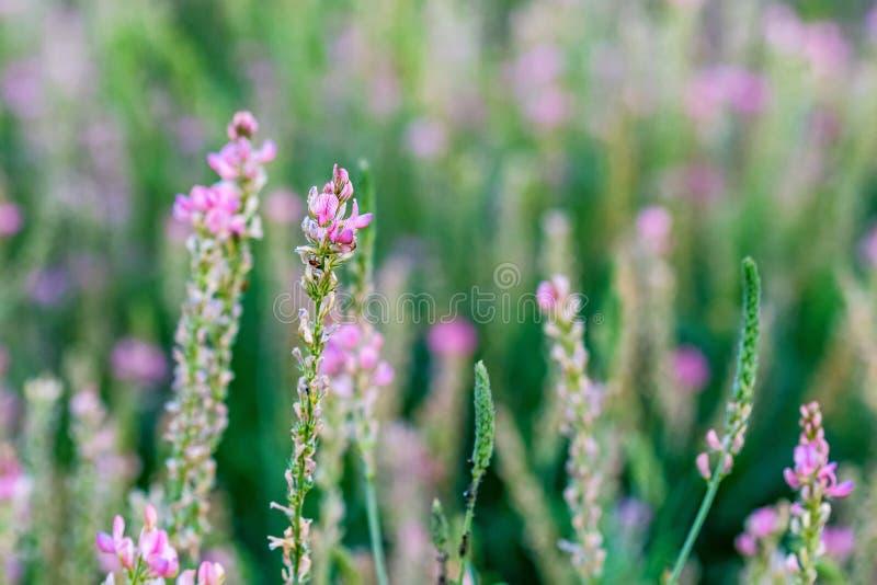Fin vers le haut d'inflorescence de floraison de viciifolia d'Onobrychis ou de sainfoin commun photographie stock