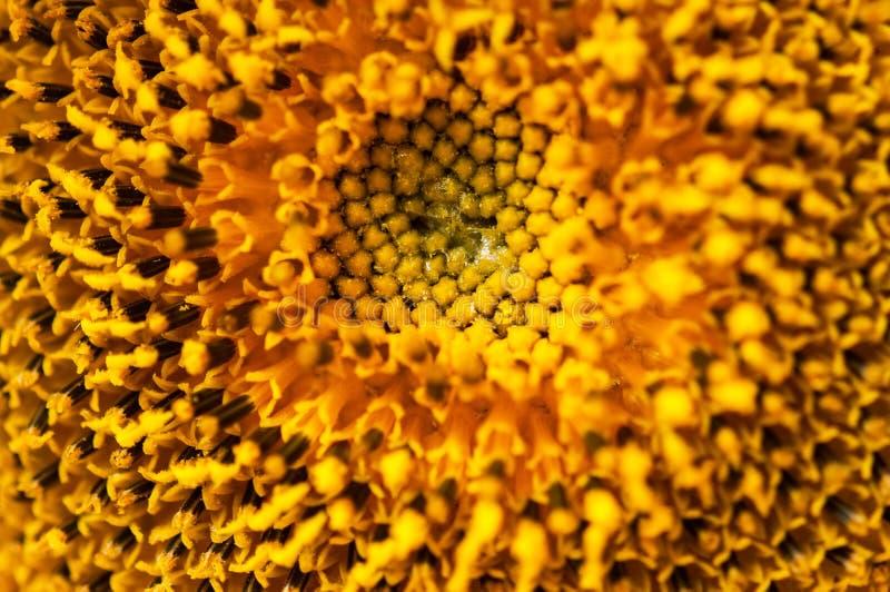 Fin vers le haut d'inflorescence jaune de tournesol, la géométrie sacrée image stock
