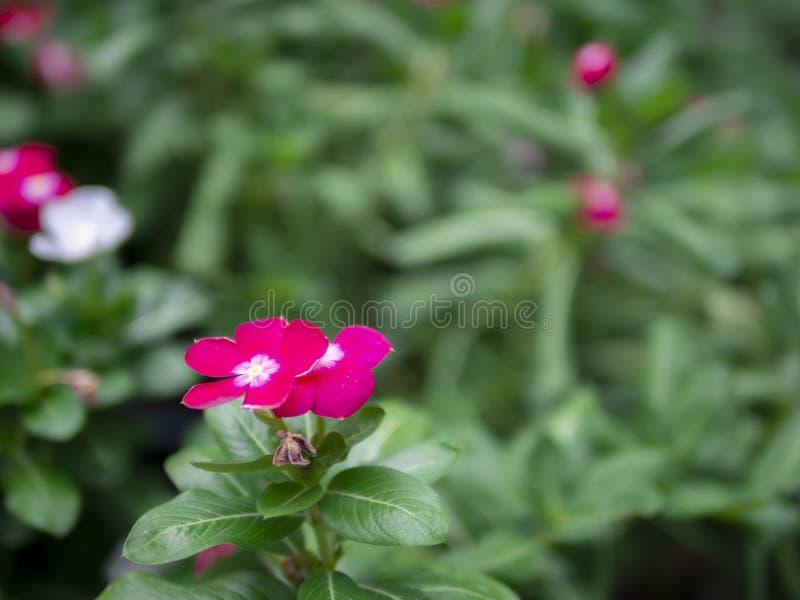 Fin vers le haut de beaux impatiens rouges de fleur sur le fond vert de jardin image libre de droits