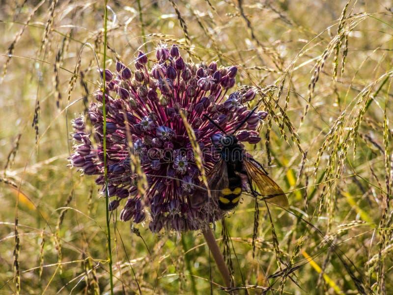 Fin vers le haut de belle fleur pourpre géante simple d'oignon de giganteum d'allium avec l'abeille là-dessus Dans le domaine photos stock