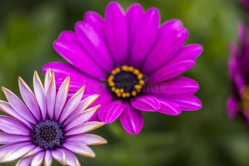 Fin vers le haut de belle marguerite africaine violette photo stock