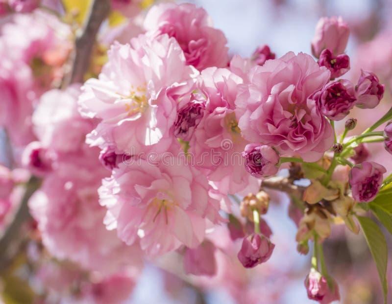 Fin vers le haut de belles fleurs de cerisier roses de floraison parfaites de Sakura ou de branche d'arbre japonaise de fleur de  images stock