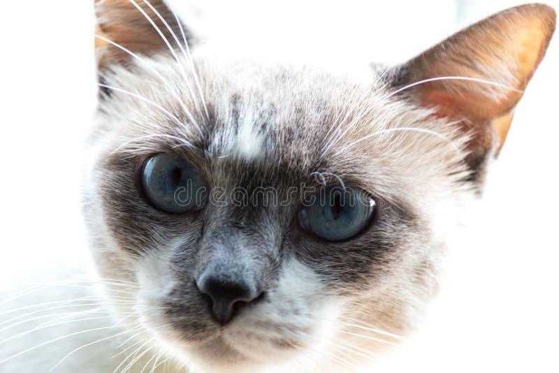 Fin vers le haut de chat observé bleu photos stock