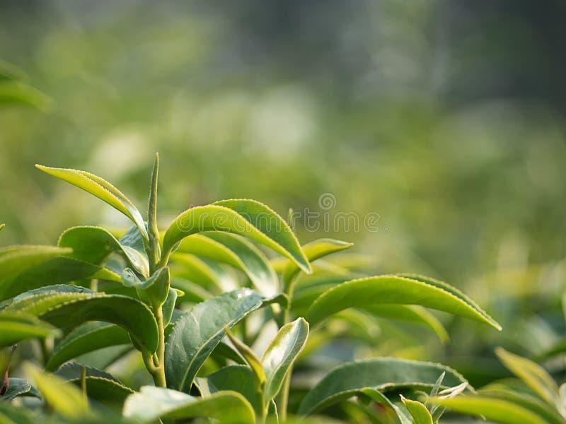 Fin vers le haut de feuille de thé verte fraîche dans l'usine de thé photo stock
