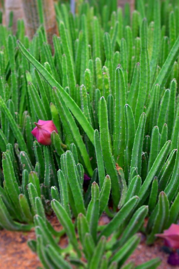 Fin vers le haut de fleur de cactus photographie stock
