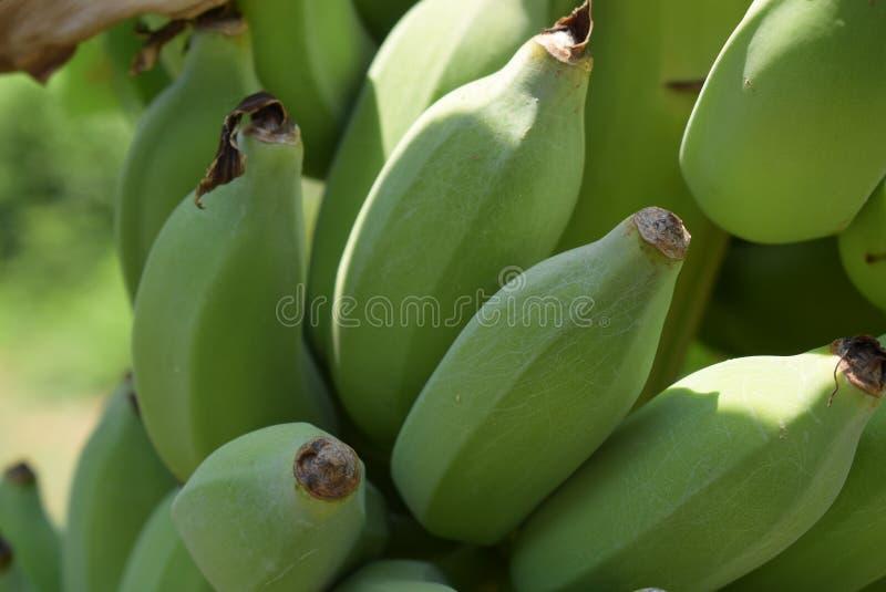 Fin vers le haut de foyer sélectif de banane crue image libre de droits