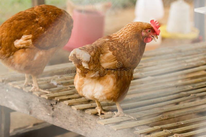 Fin vers le haut de la poule de Brown dans la ferme Une volaille domestique photo stock